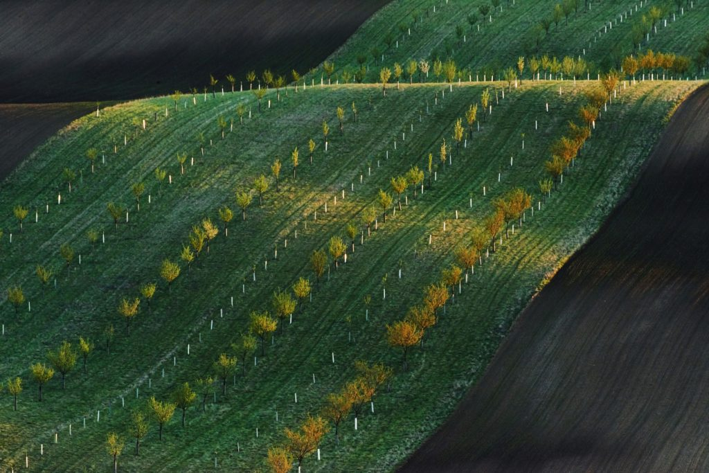 no-people-line-of-fresh-trees-on-the-green-agricil-2F3YUZQ