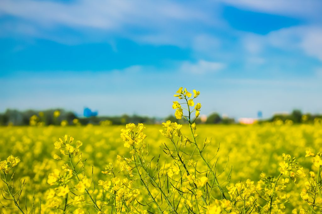 Blooming field on a bright summer day, new harvest